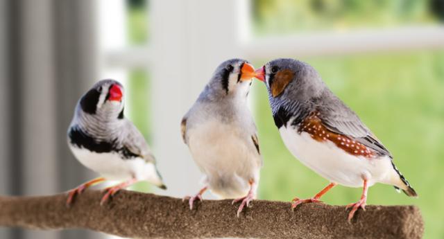 Uccelli-domestici-quale-adottare